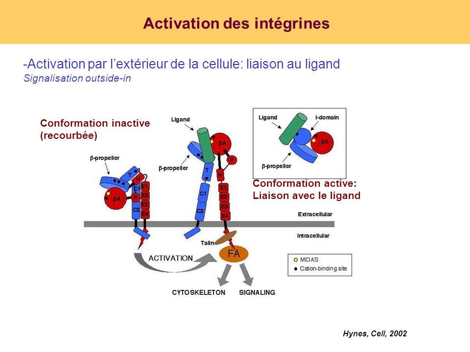Activation des intégrines -Activation par lintérieur de la cellule: liaison à des partenaires protéiques Signalisation inside-out Qin, Plos biology, 2004 Tadokoro, Science, 2003 Liaison des CHO exprimant IIb 3 à PAC-1 PAC-1: anticorps mimant la liaison de lintégrine IIb 3 au ligand LIBS6: anticorps activant lintégrine IIb 3 par lextérieur