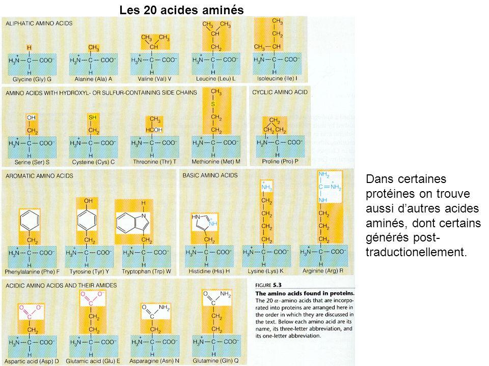 Les 20 acides aminés Dans certaines protéines on trouve aussi dautres acides aminés, dont certains générés post- traductionellement.