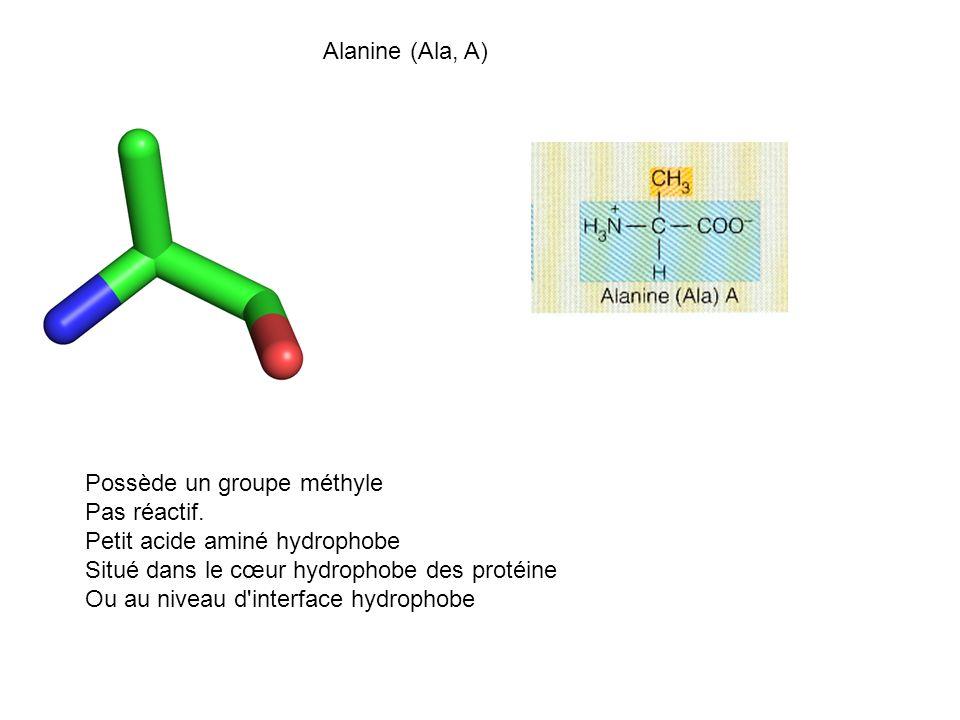 Alanine (Ala, A) Possède un groupe méthyle Pas réactif. Petit acide aminé hydrophobe Situé dans le cœur hydrophobe des protéine Ou au niveau d'interfa