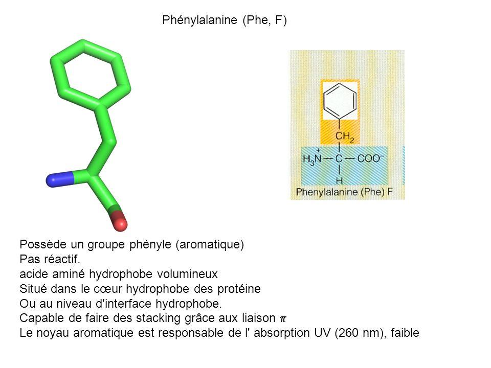 Phénylalanine (Phe, F) Possède un groupe phényle (aromatique) Pas réactif. acide aminé hydrophobe volumineux Situé dans le cœur hydrophobe des protéin