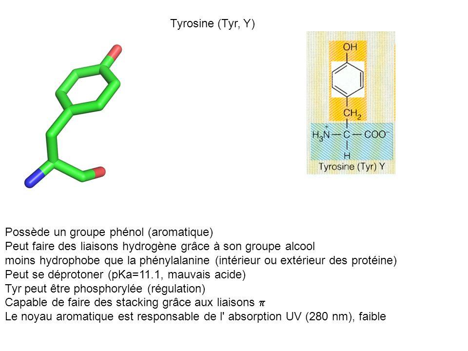 Tyrosine (Tyr, Y) Possède un groupe phénol (aromatique) Peut faire des liaisons hydrogène grâce à son groupe alcool moins hydrophobe que la phénylalan