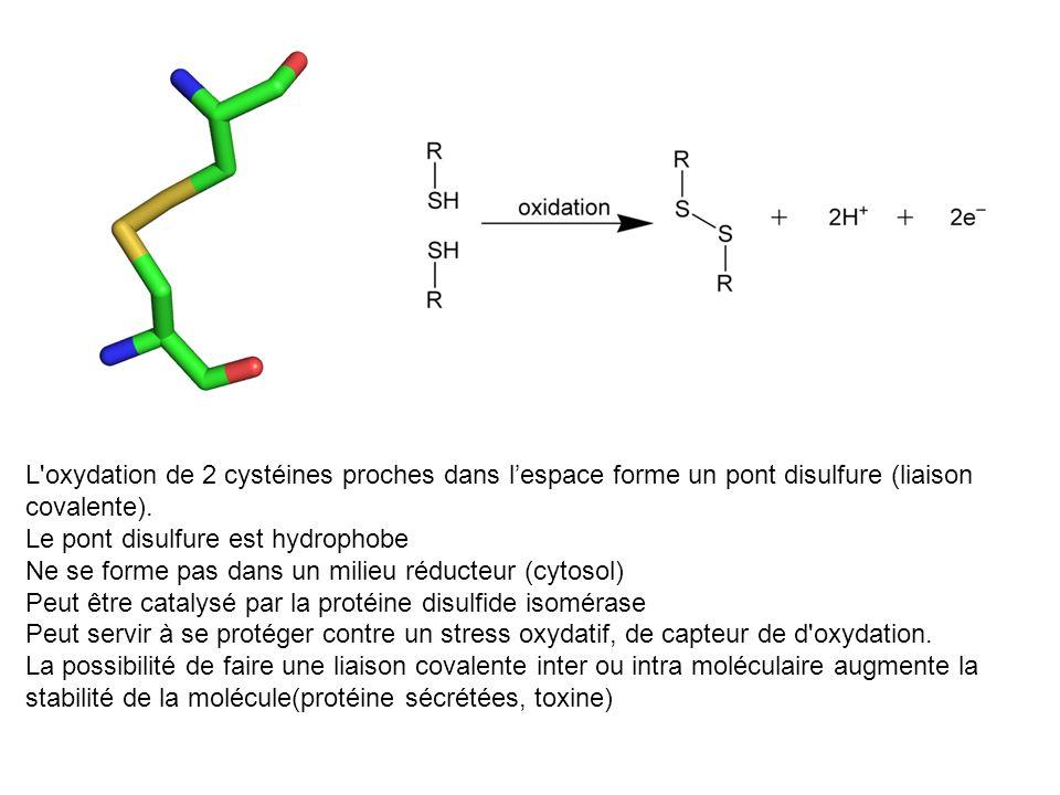 L'oxydation de 2 cystéines proches dans lespace forme un pont disulfure (liaison covalente). Le pont disulfure est hydrophobe Ne se forme pas dans un