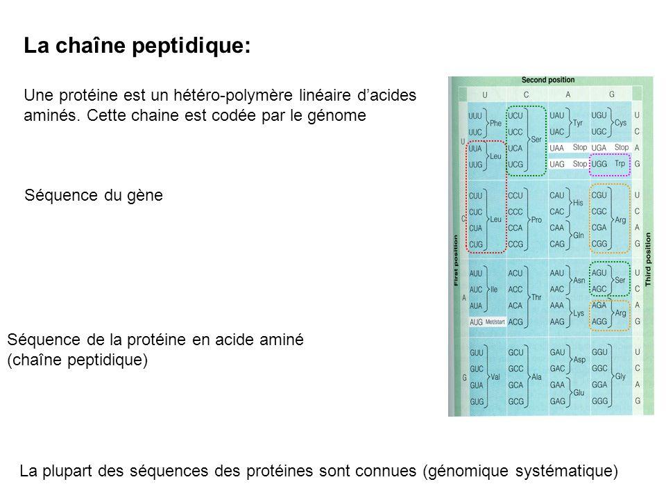 La chaîne peptidique: Une protéine est un hétéro-polymère linéaire dacides aminés. Cette chaine est codée par le génome Séquence du gène Séquence de l