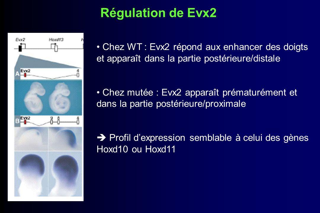 Conclusions Les mutations entraînent un changement du profil dexpression des différents gènes Hoxd Le mécanisme de colinéarité implique des régulations au sein du cluster