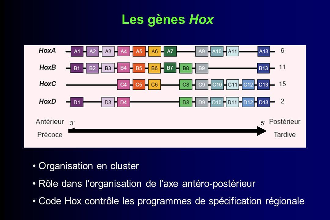 Quelques notions Gènes homéotiques : gènes contenant une séquence homéo codant pour un domaine hélice-tour-hélice responsable de la liaison à lADN Colinéarité : - Spatiale : 3 antérieur 5 postérieur - Temporelle : 3 précoce 5 tardive