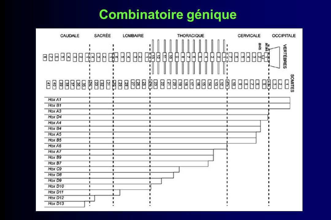 Objectif Comprendre les mécanismes qui sous-tendent la colinéarité des gènes Hoxd Utilisation de souris ayant des mutations délétion/duplication dans le cluster Hoxd Hybridation in situ