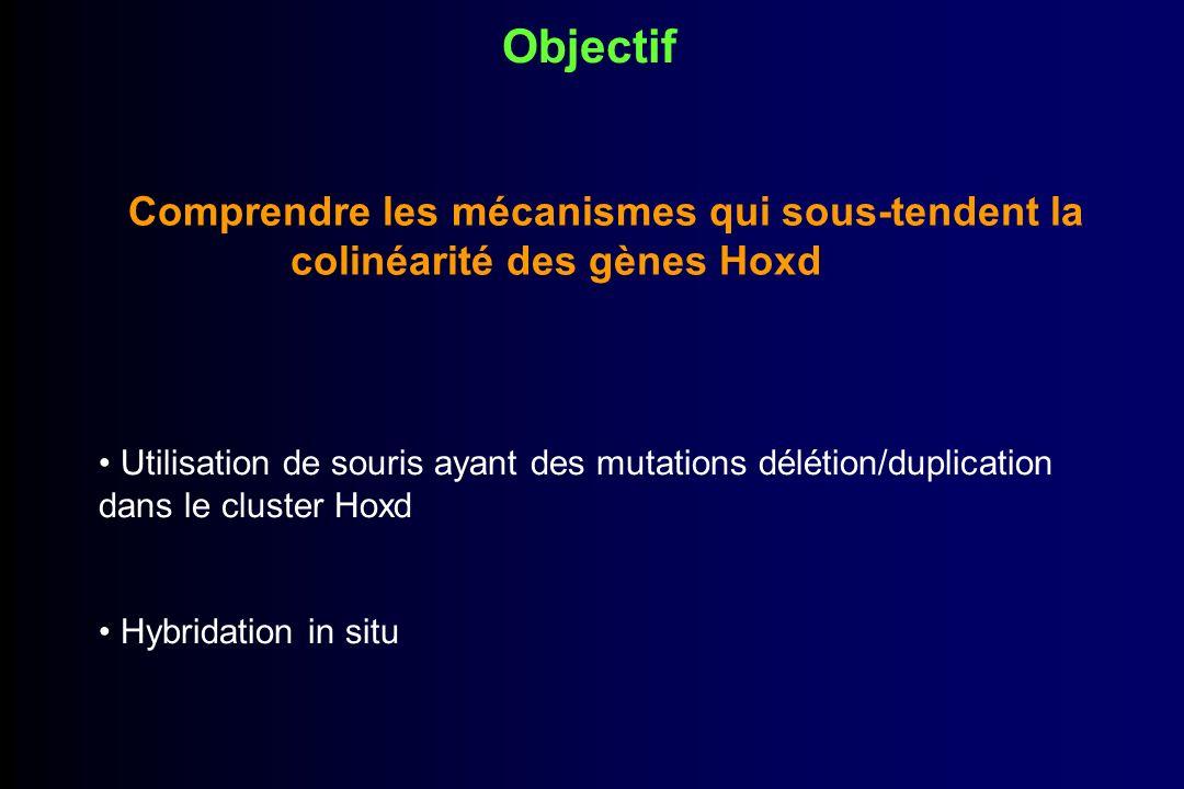 Mutations du cluster Hoxd