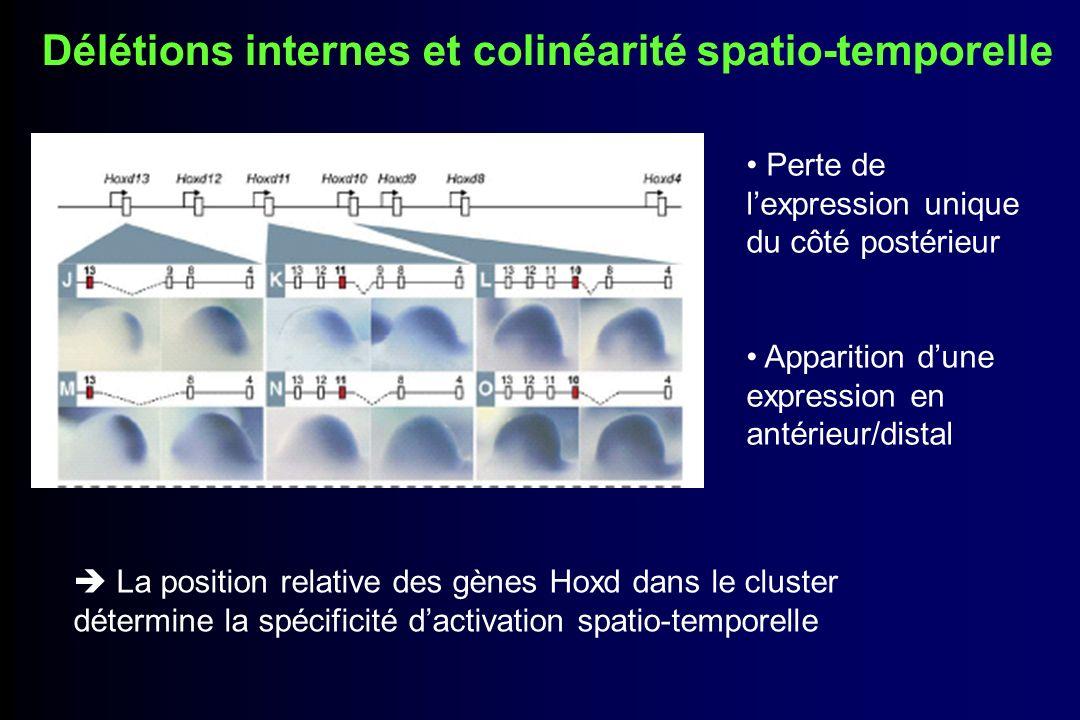 Duplication et colinéarité spatio-temporelle Plus les gènes sont éloignés de la région télomérique plus ils sont retardés dans leur activation