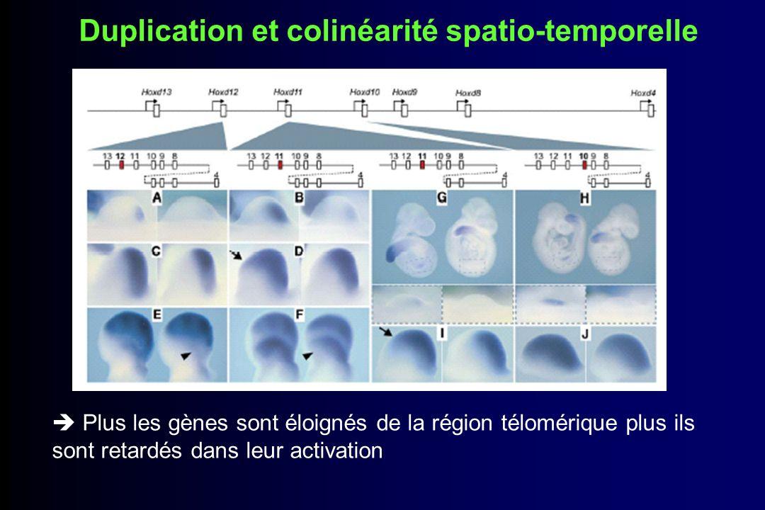 postériorisation des transcrits issus des gènes en 3 Les gènes Hoxd répondent à des enhancer des doigts qui ne sont pas gènes spécifiques Mécanismes régulateurs opposés
