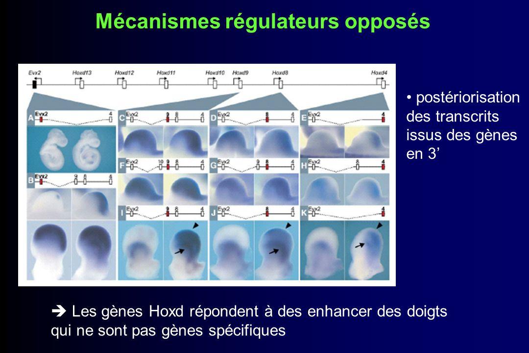 Régulation de Evx2 Chez WT : Evx2 répond aux enhancer des doigts et apparaît dans la partie postérieure/distale Chez mutée : Evx2 apparaît prématurément et dans la partie postérieure/proximale Profil dexpression semblable à celui des gènes Hoxd10 ou Hoxd11
