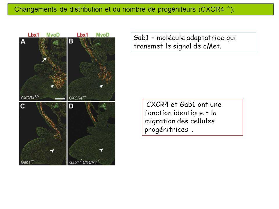 Changements de distribution et du nombre de progéniteurs (CXCR4 -/- ): CXCR4 et Gab1 ont une fonction identique = la migration des cellules progénitrices.