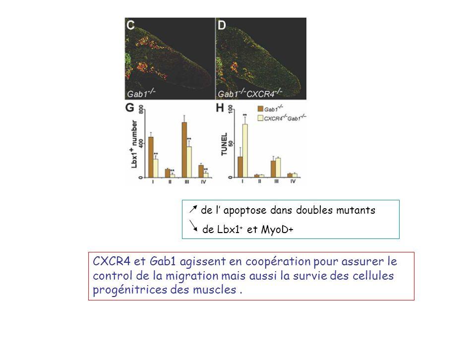 de l apoptose dans doubles mutants de Lbx1 + et MyoD+ CXCR4 et Gab1 agissent en coopération pour assurer le control de la migration mais aussi la survie des cellules progénitrices des muscles.