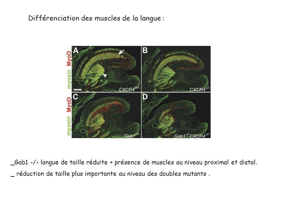 Différenciation des muscles de la langue : _Gab1 -/- langue de taille réduite + présence de muscles au niveau proximal et distal.