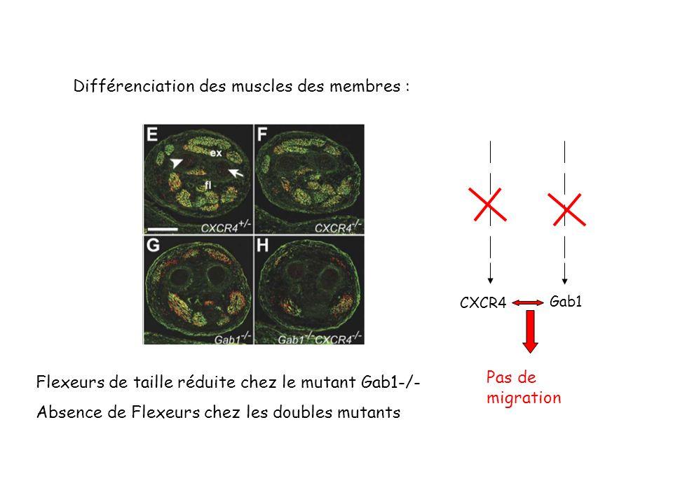 Différenciation des muscles des membres : Flexeurs de taille réduite chez le mutant Gab1-/- Absence de Flexeurs chez les doubles mutants CXCR4 Gab1 Pas de migration