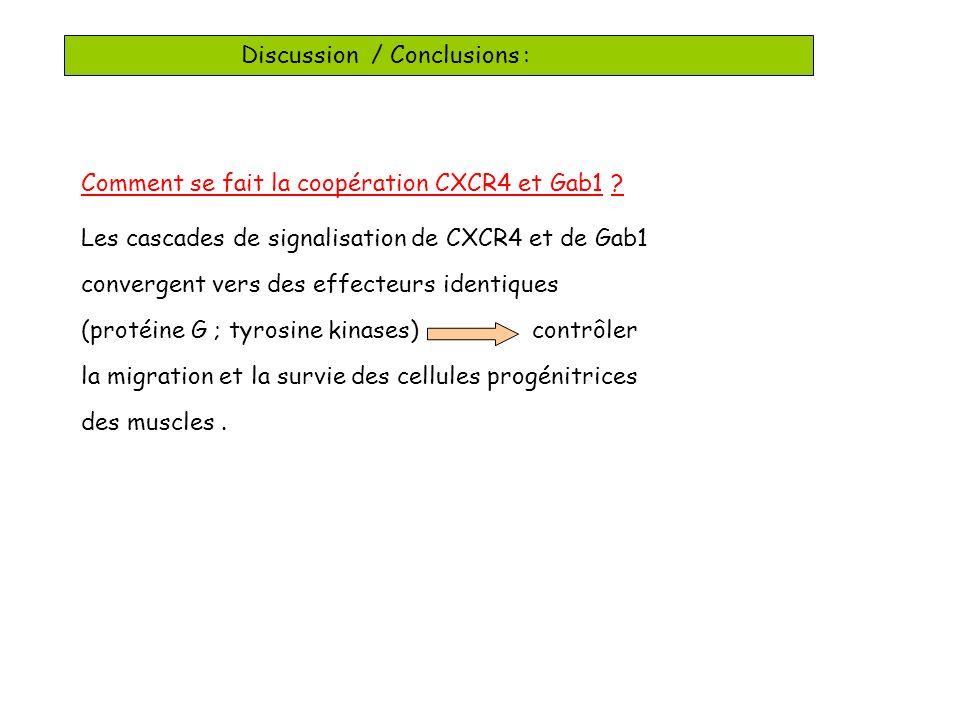 Discussion / Conclusions : Comment se fait la coopération CXCR4 et Gab1 .