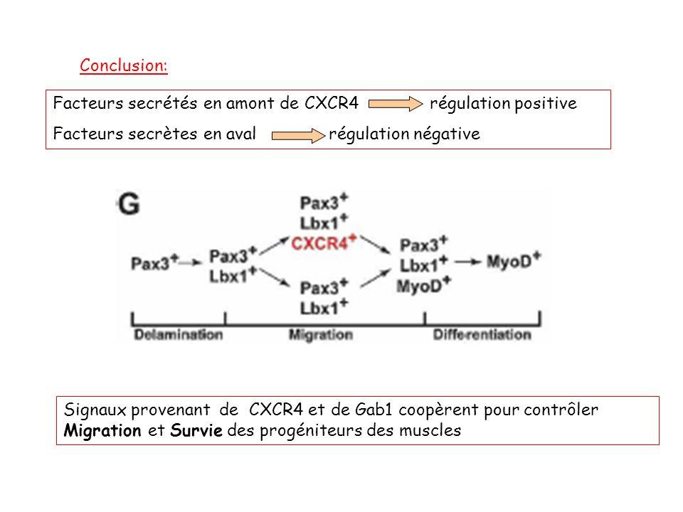 Conclusion: Facteurs secrétés en amont de CXCR4 régulation positive Facteurs secrètes en aval régulation négative Signaux provenant de CXCR4 et de Gab1 coopèrent pour contrôler Migration et Survie des progéniteurs des muscles