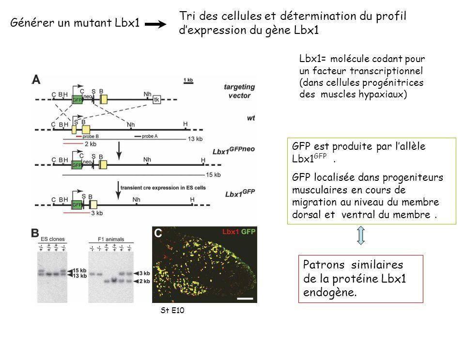 Générer un mutant Lbx1 Tri des cellules et détermination du profil dexpression du gène Lbx1 GFP est produite par lallèle Lbx1 GFP.