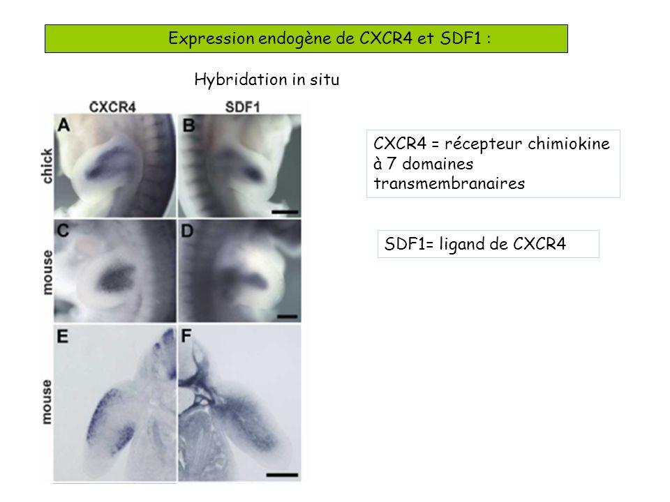 Expression endogène de CXCR4 et SDF1 : Hybridation in situ CXCR4 = récepteur chimiokine à 7 domaines transmembranaires SDF1= ligand de CXCR4