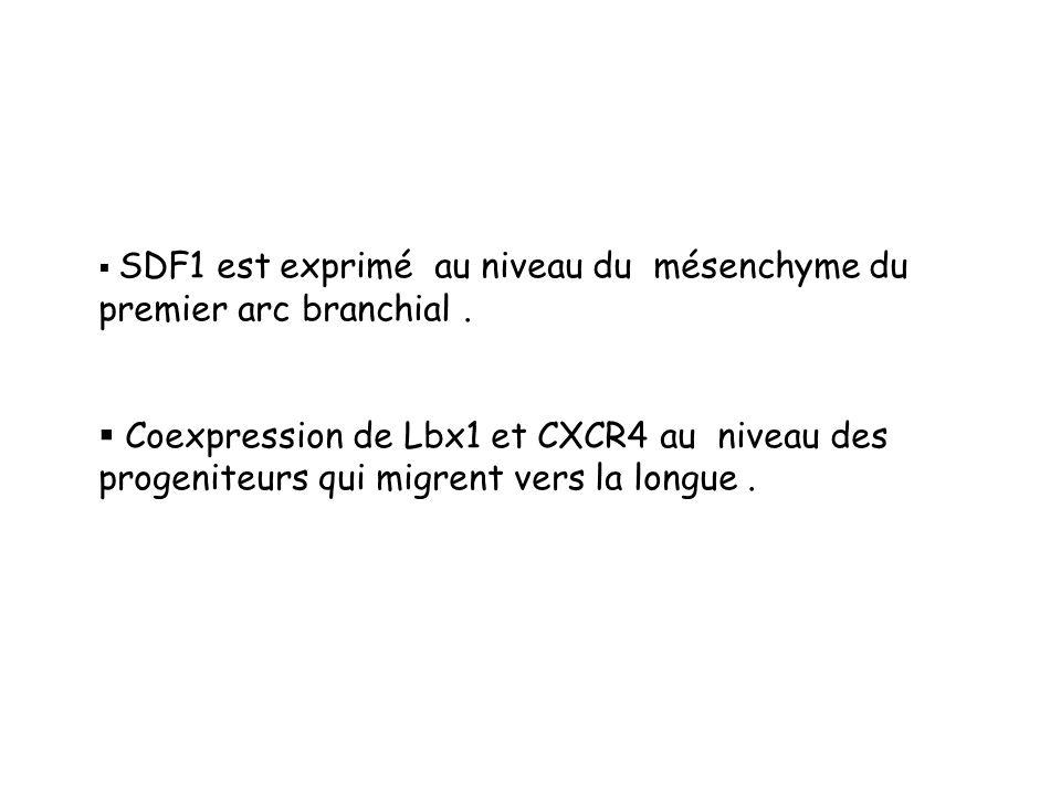 SDF1 est exprimé au niveau du mésenchyme du premier arc branchial.