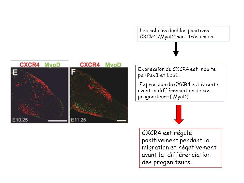 Les cellules doubles positives CXCR4 + /MyoD + sont très rares.