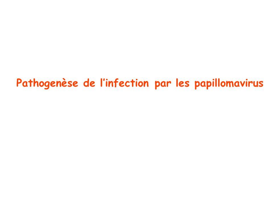 Pathogenèse de linfection par les papillomavirus
