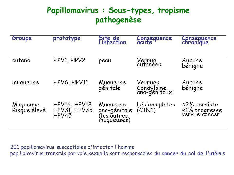 Pathogenèse du cancer du col de lutérus Carcinome in situ Carcinome invasif précoceCarcinome invasifCarcinome invasif tardif Col seinCarcinome in situ