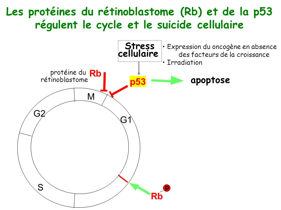 M G1 S G2 Rb protéine du rétinoblastome Rb P Les protéines du rétinoblastome (Rb) et de la p53 régulent le cycle et le suicide cellulaire p53 apoptose