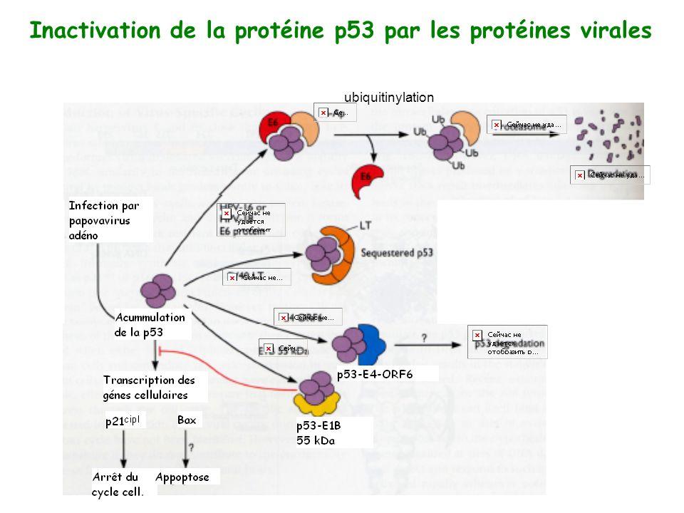 Inactivation de la protéine p53 par les protéines virales ubiquitinylation
