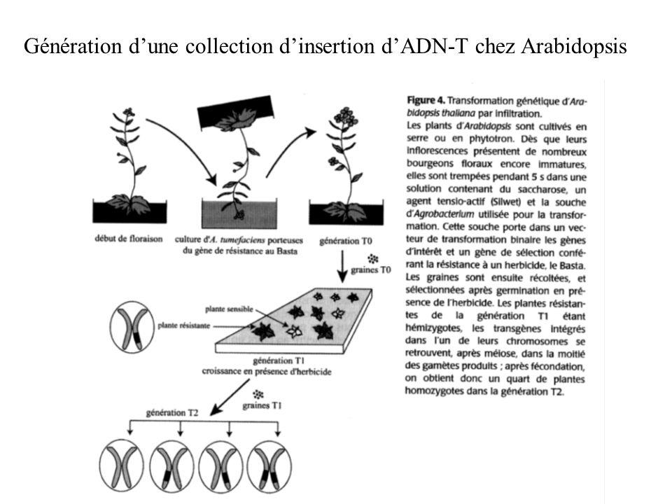 Génération dune collection dinsertion dADN-T chez Arabidopsis
