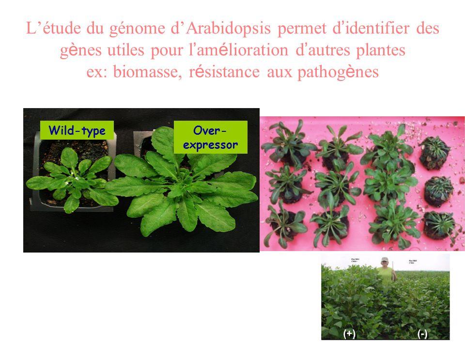 Létude du génome dArabidopsis permet d identifier des g è nes utiles pour l am é lioration d autres plantes ex: biomasse, r é sistance aux pathog è ne