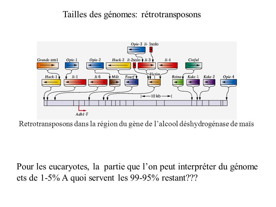 Retrotransposons dans la région du gène de lalcool déshydrogénase de maïs Pour les eucaryotes, la partie que lon peut interpréter du génome ets de 1-5