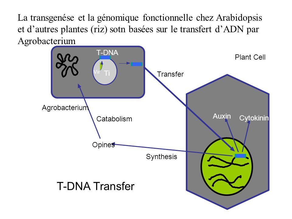 Agrobacterium Transfer Opines Catabolism Synthesis Auxin Cytokinin Plant Cell Ti T-DNA T-DNA Transfer Vir La transgenése et la génomique fonctionnelle