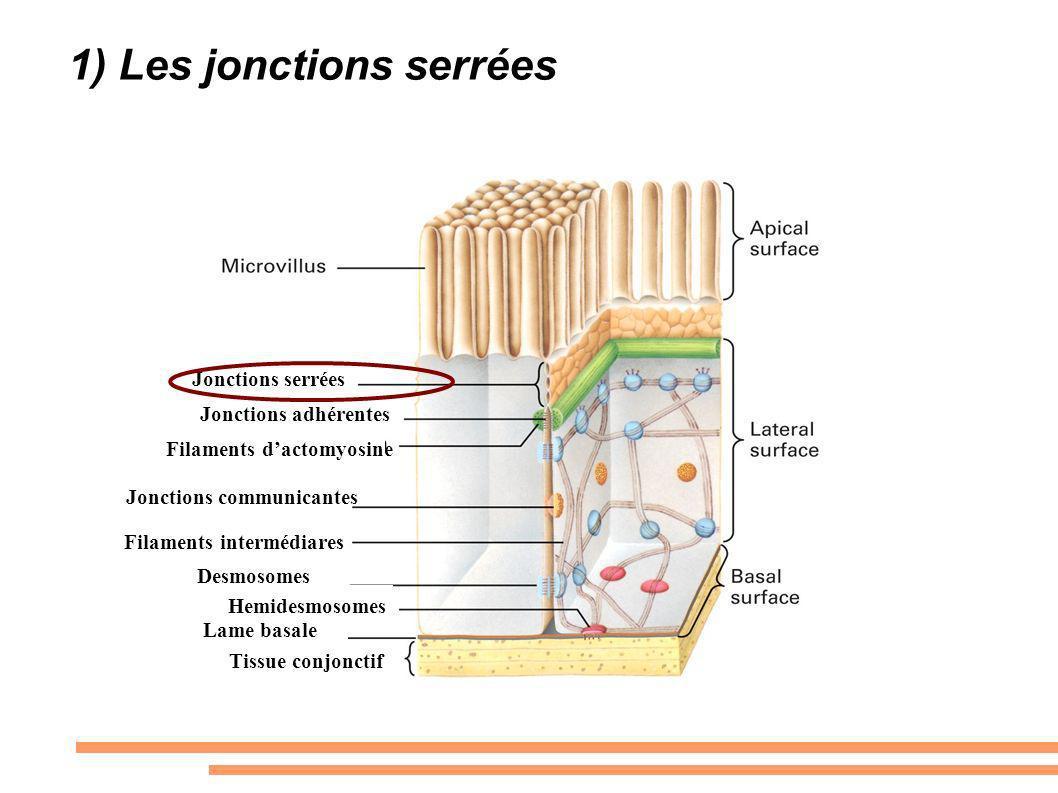 Jonctions serrées Jonctions adhérentes Filaments dactomyosine Jonctions communicantes Filaments intermédiares Desmosomes Hemidesmosomes Lame basale Ti