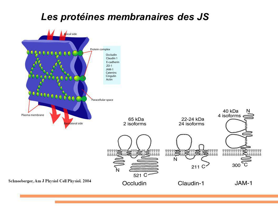 Les protéines membranaires des JS Schneeberger, Am J Physiol Cell Physiol. 2004