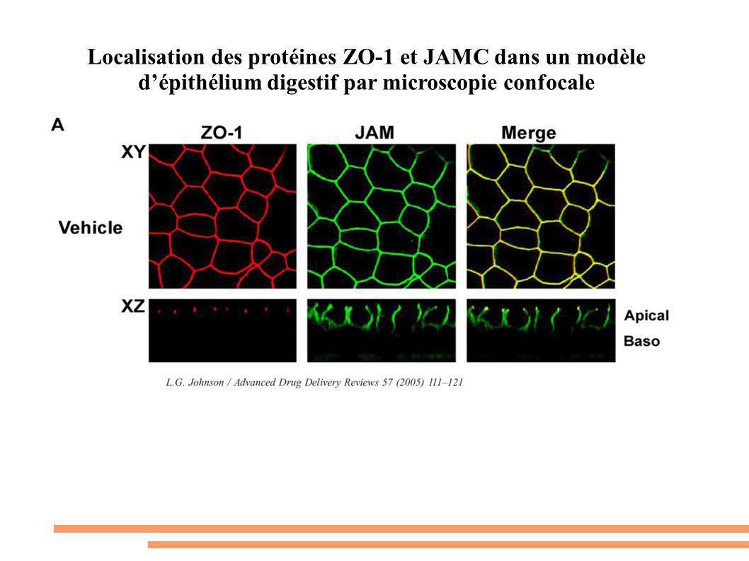 Localisation des protéines ZO-1 et JAMC dans un modèle dépithélium digestif par microscopie confocale