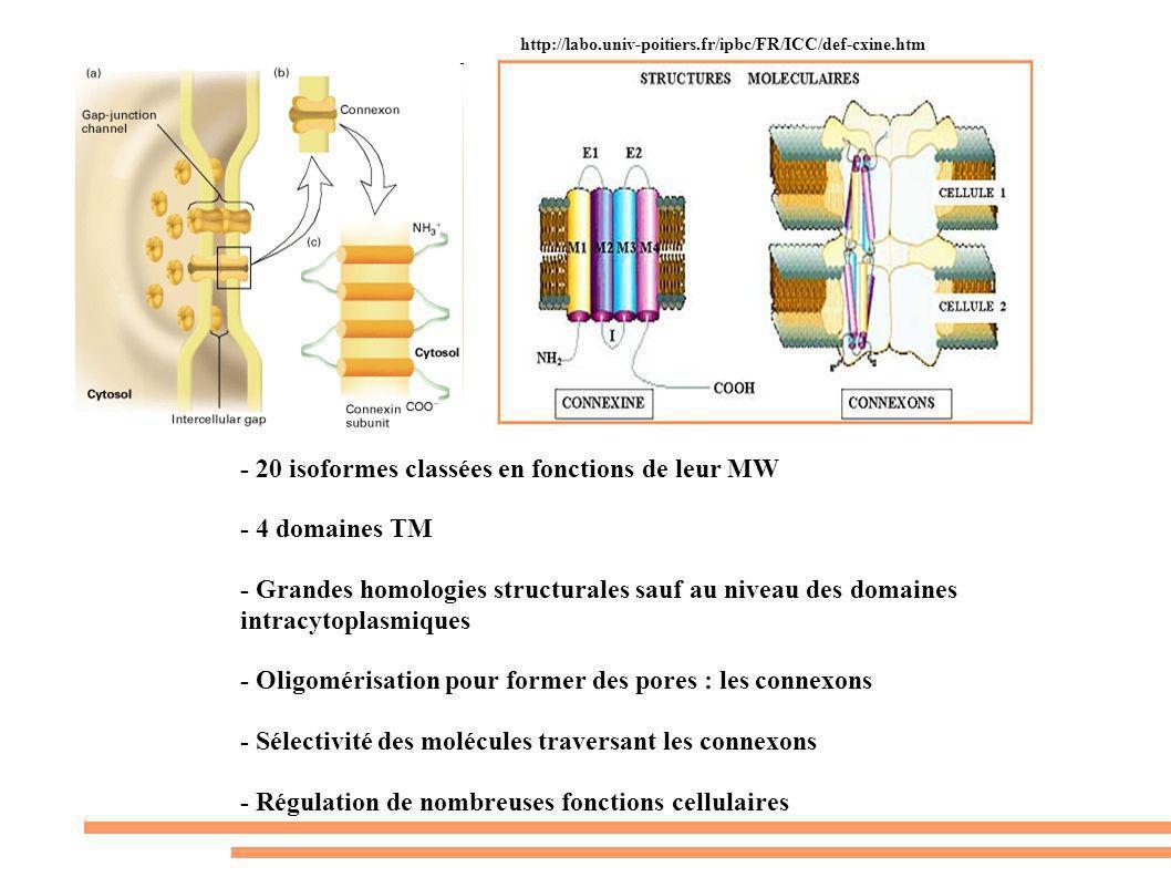 http://labo.univ-poitiers.fr/ipbc/FR/ICC/def-cxine.htm - 20 isoformes classées en fonctions de leur MW - 4 domaines TM - Grandes homologies structural