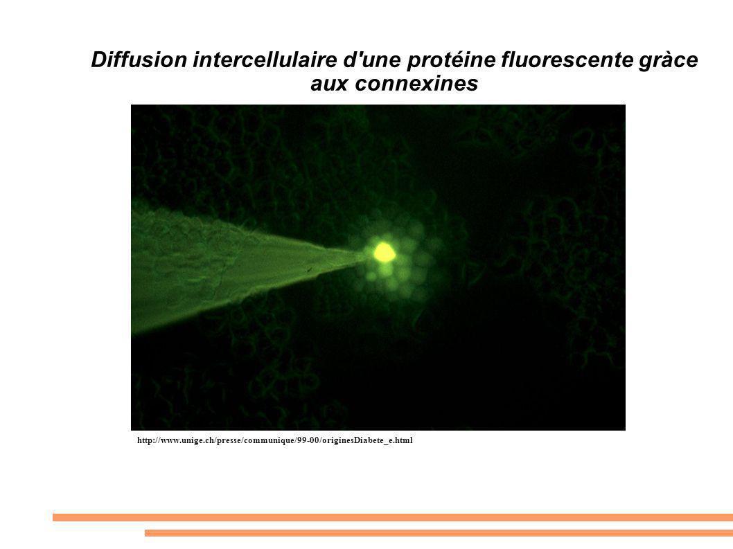 Diffusion intercellulaire d'une protéine fluorescente gràce aux connexines http://www.unige.ch/presse/communique/99-00/originesDiabete_e.html