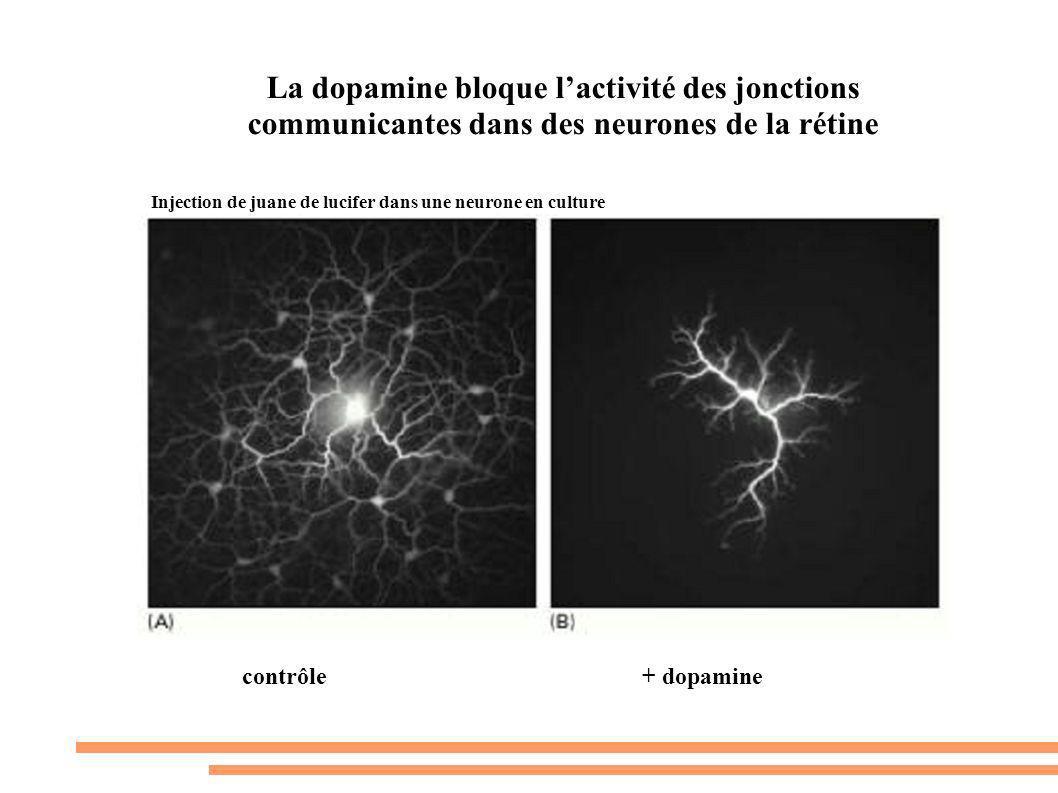 La dopamine bloque lactivité des jonctions communicantes dans des neurones de la rétine contrôle+ dopamine Injection de juane de lucifer dans une neur