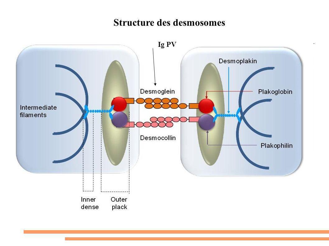 Structure des desmosomes Ig PV