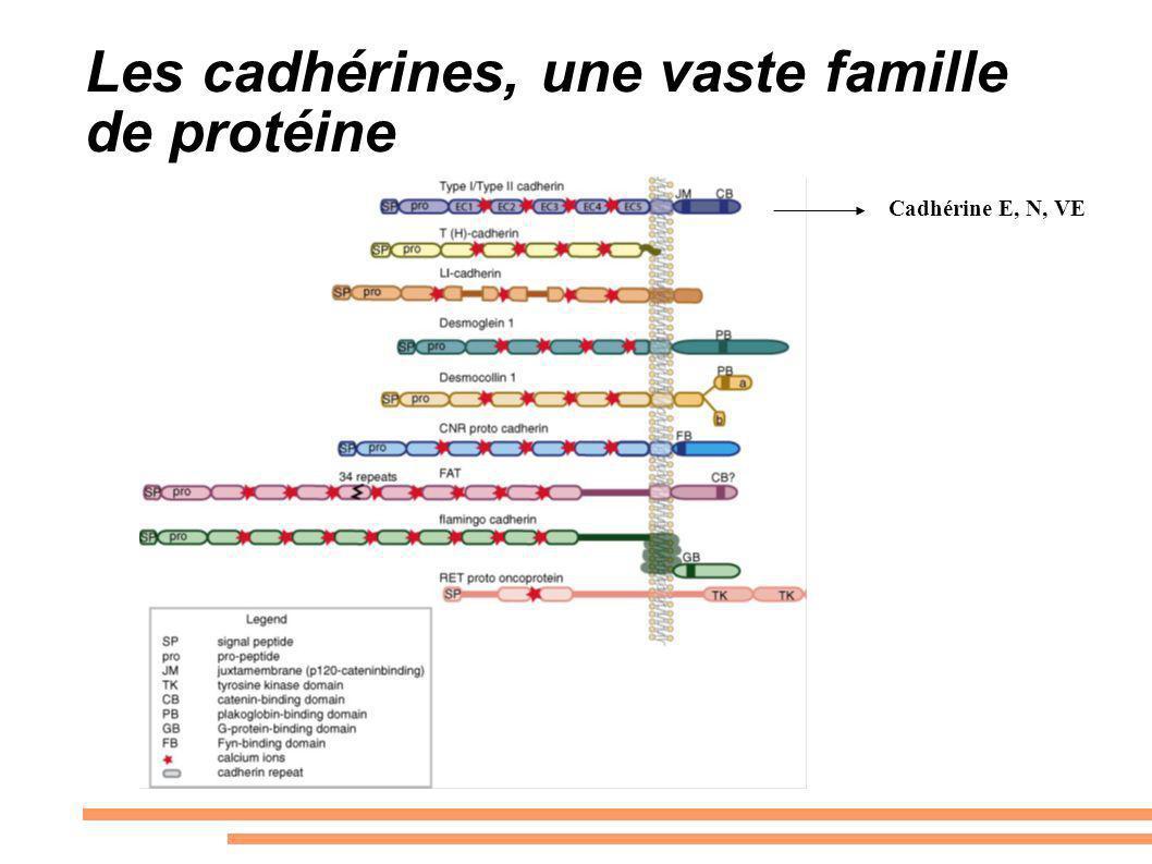 Les cadhérines, une vaste famille de protéine Cadhérine E, N, VE
