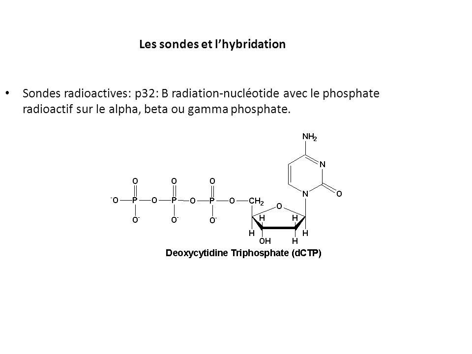 Les sondes et lhybridation Sondes radioactives: p32: B radiation-nucléotide avec le phosphate radioactif sur le alpha, beta ou gamma phosphate.