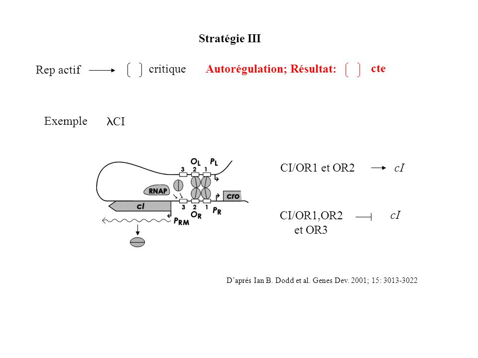 Exemple Stratégie III Rep actif critiqueAutorégulation; Résultat: cte CI/OR1 et OR2 CI/OR1,OR2 et OR3 cI Daprés Ian B. Dodd et al. Genes Dev. 2001; 15