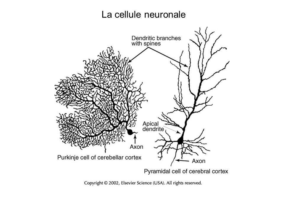 Le neurone La synapse