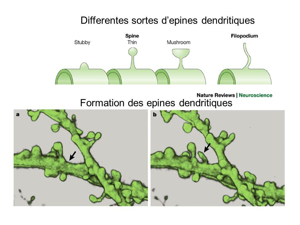Formation des epines dendritiques Differentes sortes depines dendritiques