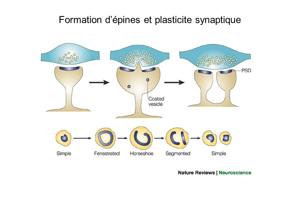 Formation dépines et plasticite synaptique