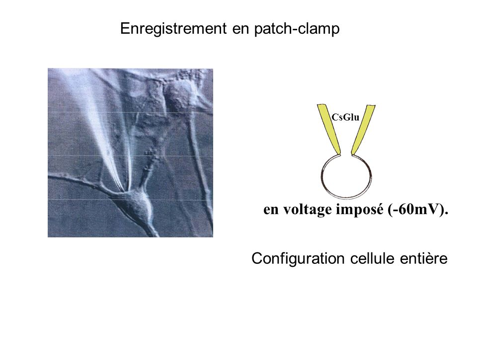 Enregistrement en patch-clamp cellule entière CsGlu en voltage imposé (-60mV). Configuration cellule entière