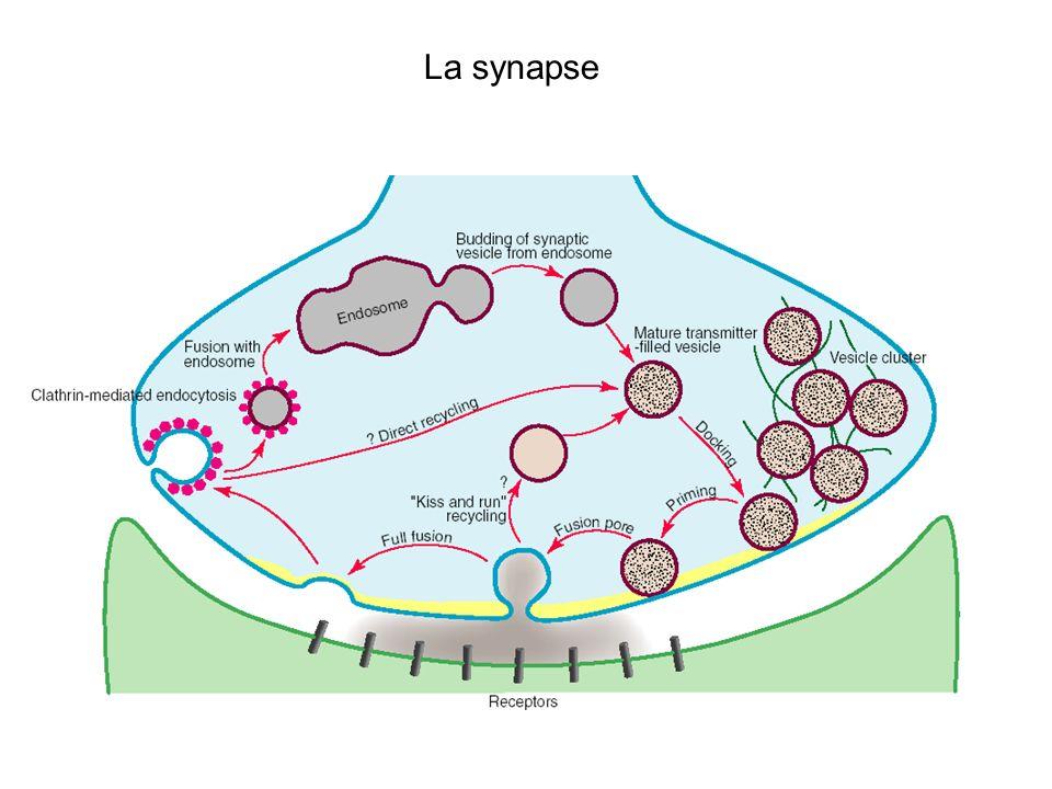 Deuxieme experience Antagonistes des recepteurs au Glutamate Plasticite synaptique Transmission synaptique Intracellulaire Extracellulaire AP5MK801 NBQXCNQXGYKI X X NMDAAMPA