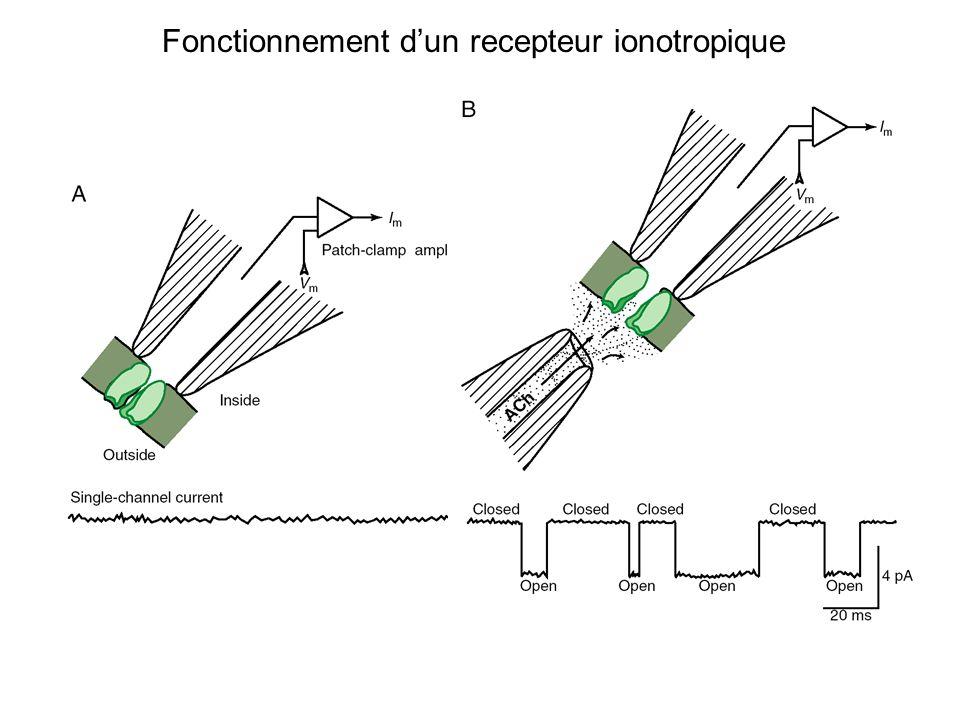 Fonctionnement dun recepteur ionotropique