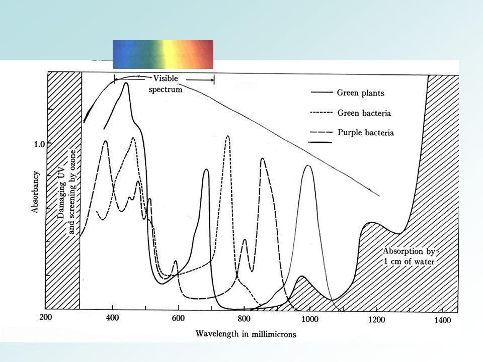 Rhodopseudomonas palustris Bactérie photosynthétique capable de se développer à lobscurité (activité respiratoire) ou à la lumière (activité photosynthétique)