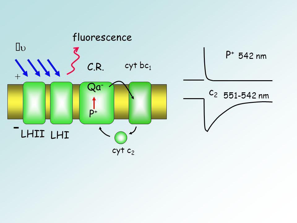 LHII LHI C.R. cyt bc 1 cyt c 2 - + P+P+ P+P+ 542 nm c 2 551-542 nm fluorescence Qa -